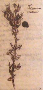 4_Plante Teucrium marum dessinée par Latapie dans les marges du 5e cahier des Éphémérides (Rome, 7 juillet 1775)